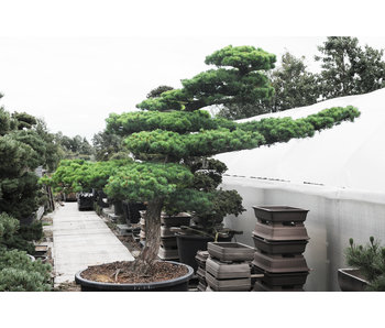 Japanese white pine, 200 cm, ± 45 years old