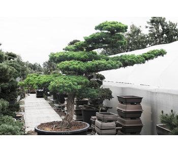 Japanse witte den, 180 cm x 210 cm ± 45 jaar oud