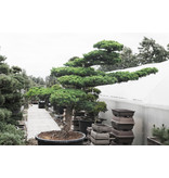 Japanese white pine, 200 cm, ± 45 years old, in a pot with a capacity of 375 liters