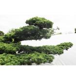 Pino bianco giapponese, 200 cm, ± 45 anni, in una pentola con una capacità di 375 litri