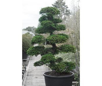 Ciprés japonés, 190 cm, ± 35 años