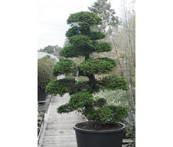 Japanese cypress, 190 cm, ± 35 years old