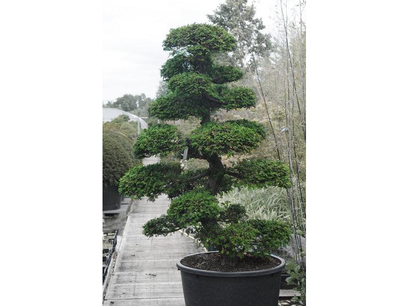 Japanische Zypresse, 190 cm, ± 35 Jahre alt, in einem Topf mit einem Fassungsvermögen von 260 Litern