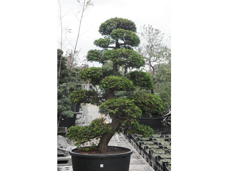 Japanse cipres, 190 cm, ± 35 jaar oud, in een pot met een inhoud van 260 liter