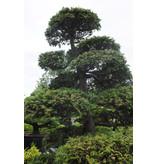 Cipresso giapponese, 190 cm, ± 35 anni, in una pentola con una capacità di 260 litri