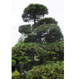 Japanese cypress, 190 cm, ± 35 years old, in a pot with a capacity of 260 liters