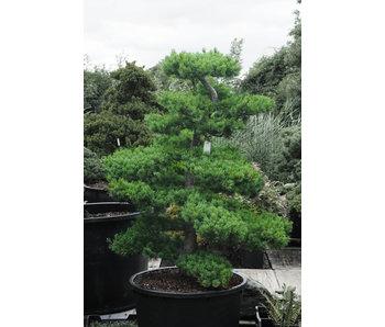 Japanese white pine, 170 cm, ± 25 years old