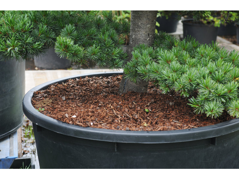 Japanese white pine, 170 cm, ± 25 years old, in a pot with a capacity of 230 liters