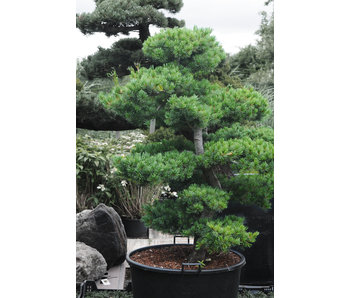 Japanese white pine, 150 cm, ± 25 years old