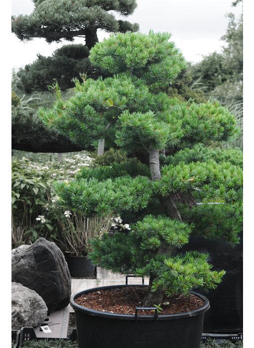 Japanese white pine, 150 cm, ± 25 years old