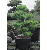 Pino bianco giapponese, 150 cm, ± 25 anni, in una pentola con una capacità di 160 litri