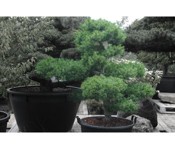 Japanese white pine, 120 cm, ± 25 years old