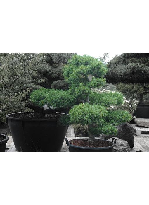 Japanese white pine, 120 cm, ± 25 years old