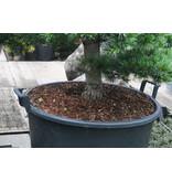 Japanse witte den, 120 cm, ± 25 jaar oud, in een pot met een inhoud van 100 liter