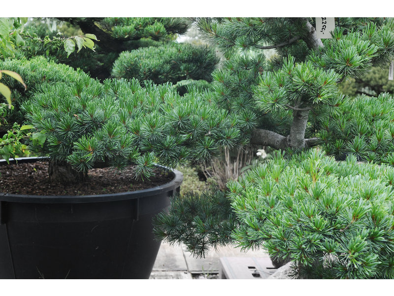 Japanese white pine, 120 cm, ± 25 years old, in a pot with a capacity of 100 liters