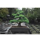 Japanse witte den, 130 cm, ± 40 jaar oud, in een pot met een inhoud van ongeveer 200 liter