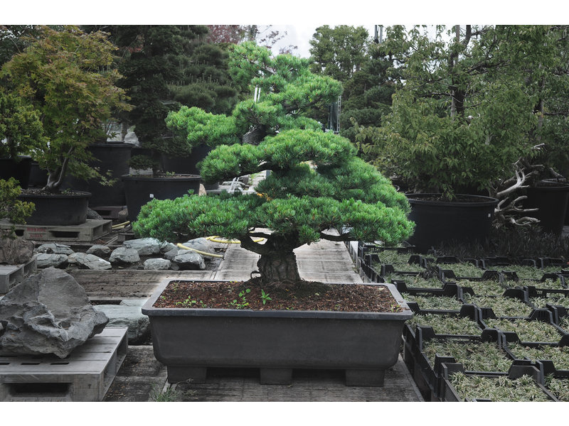 Japanese white pine, 130 cm, ± 40 years old, in a pot with a capacity of approximately 200 liters
