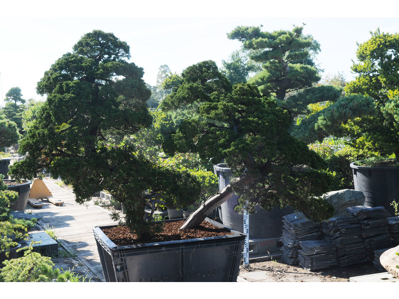 Chinese juniper, 140 cm, ± 60 years old, in a pot with a capacity of approximately 200 liters