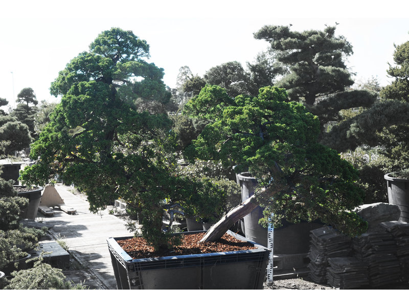 Chinese jeneverbes, 140 cm, ± 60 jaar oud, in een pot met een inhoud van ongeveer 200 liter