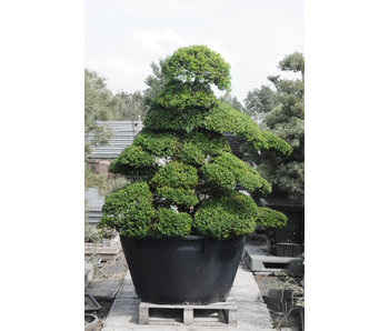 Japanese holly, 220 cm, ± 25 years old