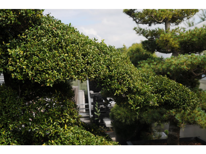 Japanese holly, 220 cm, ± 25 years old, in a pot with a capacity of approximately 500 liters