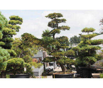 Japanese cypress, 210 cm, ± 30 years old