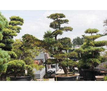Japanse cipres, 210 cm, ± 30 jaar oud
