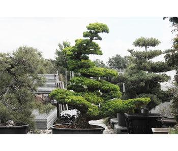 Japanse witte den, 190 cm, ± 40 jaar oud
