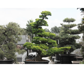 Pino bianco giapponese, 190 cm, ± 40 anni