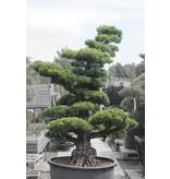 Japanse witte den, 190 cm, ± 40 jaar oud, in een pot met een inhoud van ongeveer 300 liter