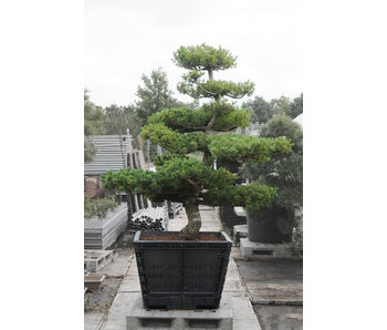 Japanese white pine, 190 cm, ± 30 years old