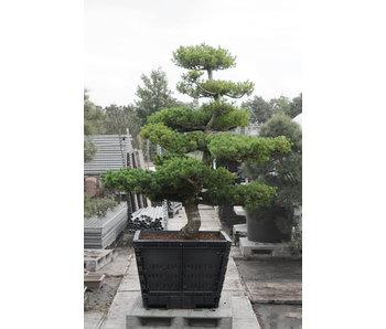 Pino bianco giapponese, 190 cm, ± 30 anni
