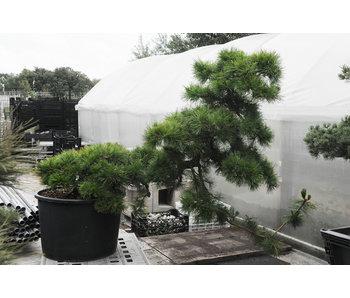 Japanse zwarte den, 140 cm, ± 55 jaar oud