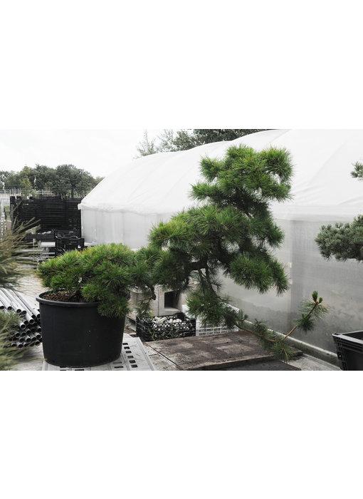 Japanese black pine, 140 cm, ± 55 years old