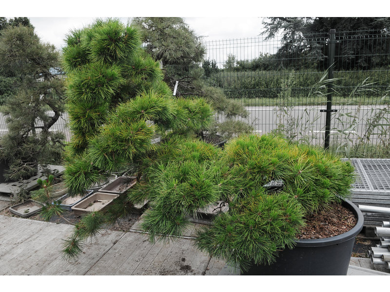 Japanese black pine, 140 cm, ± 55 years old, in a pot with a capacity of approximately 200 liters