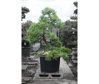 Japanese black pine, 190 cm, ± 55 years old
