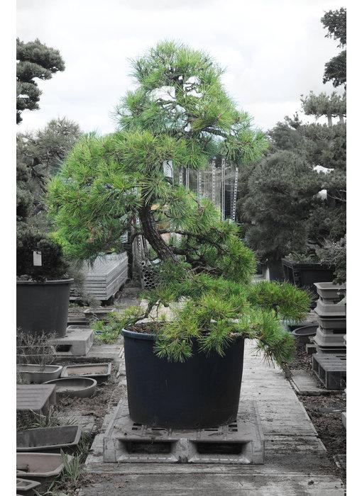 Japanese black pine, 190 cm, ± 55 years old