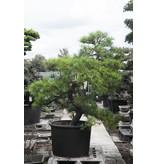 Japanse zwarte den, 190 cm, ± 55 jaar oud, in een pot met een inhoud van ongeveer 200 liter
