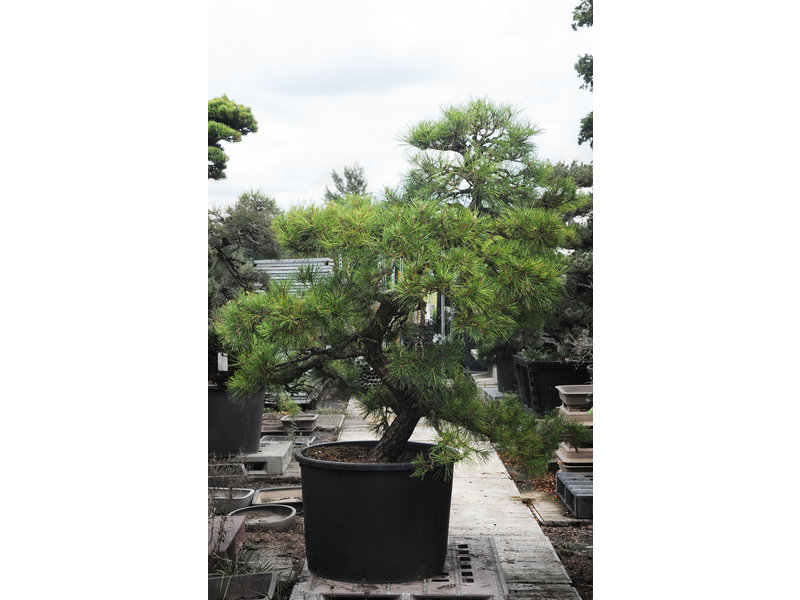 Japanese black pine, 190 cm, ± 55 years old, in a pot with a capacity of approximately 200 liters