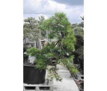 Japanese black pine, 160 cm, ± 55 years old
