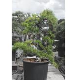 Japanse zwarte den, 160 cm, ± 55 jaar oud, in een pot met een inhoud van ongeveer 200 liter