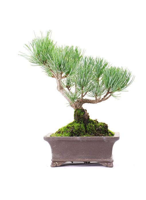 Japanese white pine, 17 cm, ± 12 years old