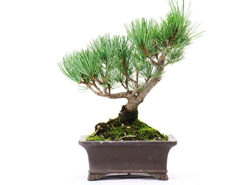 Japanese white pine, 17 cm, ± 12 years old, with a little chip of the pot