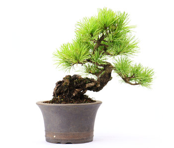 Japanese white pine (Nasu), 16 cm, ± 20 years old
