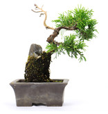 Chinese juniper (itoigawa), 14 cm, ± 6 years old
