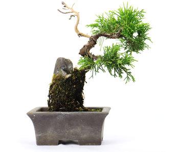 Enebro chino (itoigawa), 14 cm, ± 6 años