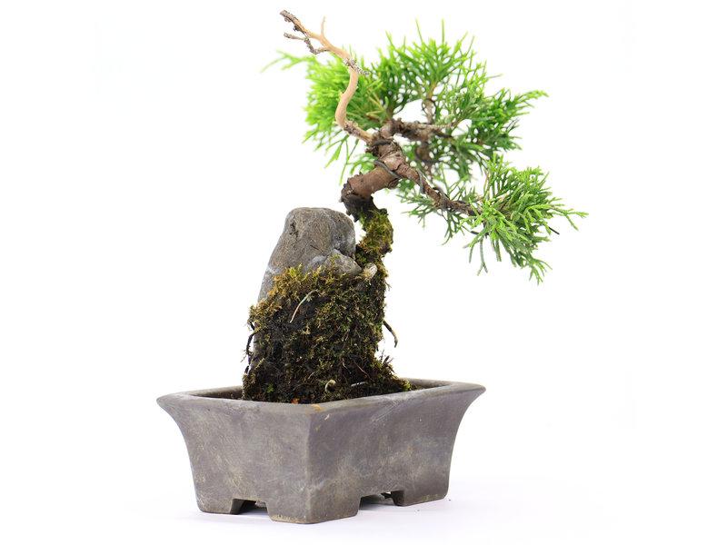 Chinese jeneverbes (itoigawa), 14 cm, ± 6 jaar oud