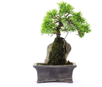 Chinese juniper (itoigawa), 18 cm, ± 6 years old