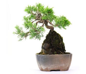 Chinese juniper (itoigawa), 15 cm, ± 6 years old