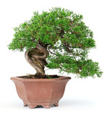 Chinese juniper (Itoigawa), 19 cm, ± 40 years old, with an extremely thin old shari (pot misses one foot)